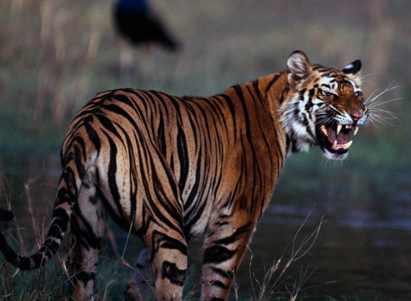 tiger-in-India-Michael-NicholsNational-Geographic-Creative-590x432
